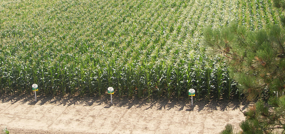 gajenje-kukuruza