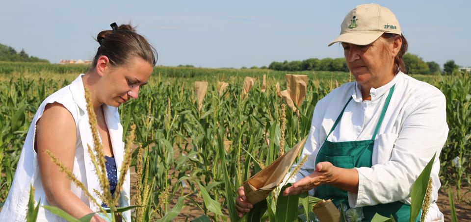 oplemenjivanje-kukuruza