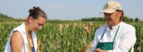 oplemenjivanje-kukuruza-mala